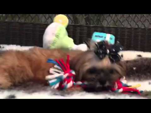Reduced! Teddy bear, Shih tzu puppy