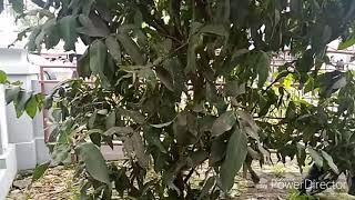 Video PEMBERANTASAN PENYAKIT EMBUN JELAGA  PADA TANAMAN MANGGA DAN JAMBU MADU MP3, 3GP, MP4, WEBM, AVI, FLV November 2018