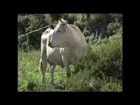 Ganado bovino en La Palma (Raza palmera)