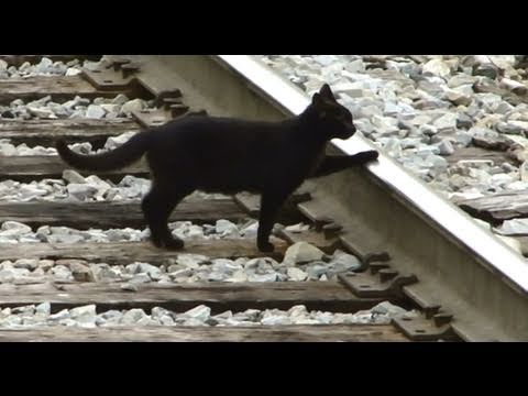 CSX locomotive - Black cat crosses tracks in front of csx auto rack train with 8536 with doors open in martinsburg, west virginia.
