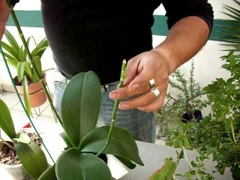 Las varas florales de la Orquídea Phalaenopsis.AVI