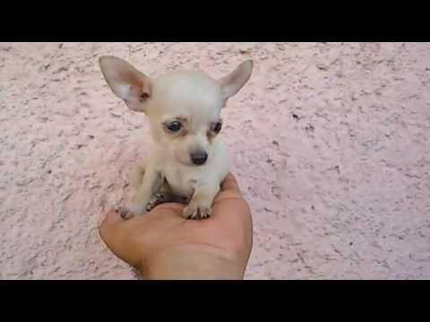 Big Ears !!  Micro Teacup Chihuahua – Very Cute !