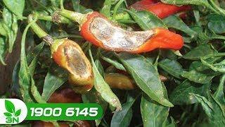 Trồng trọt | Bệnh đốm lá trên cây ớt: Nguyên nhân và cách chữa