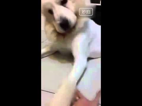 狗狗剃完毛後超不爽,如果這時候討握手的話就會出現這樣的場景…