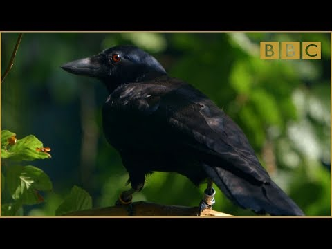 Are crows the ultimate problem solvers%3F - Inside the Animal Mind%3A Episode 2 - BBC Two
