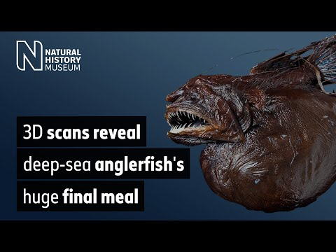 Mystery of the hairy anglerfish's huge stomach