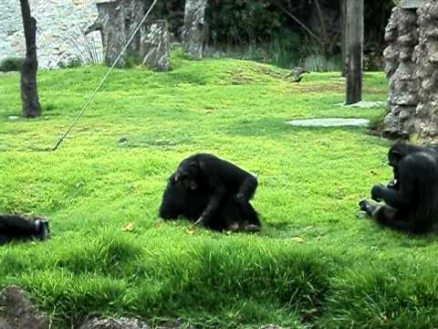 Tremenda pelea de Chimpancés