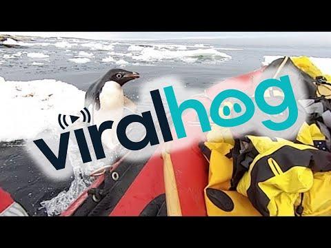 Utelias pingviini tulee moikkaamaan tutkijoita