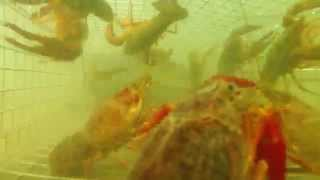 Download Lagu Homemade Crawfish Trap Timelapse GoPro Hero 3+ Silver Mp3