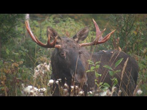 Elk hunt during the rut 2014, film 2