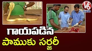 Injured Indian Cobra Rescued, Operated By Doctors | Odisha