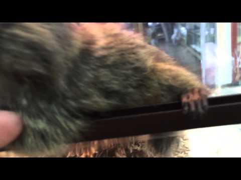 Loài khỉ có kích thước nhỏ nhất thế giới chỉ bằng 2 ngón tay