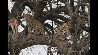 Leopard and Cub eat and play in a tree