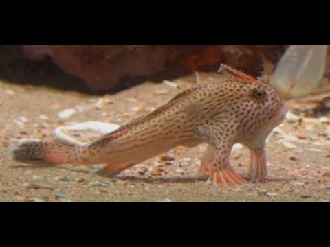 Rote Handfische: Sensationelle Entdeckung vor tasmanischer Küste lässt Forscher jubeln