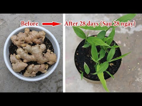 Trồng gừng - cách nhanh nhất để củ nảy chồi | Growing ginger - the fastest way to sprout