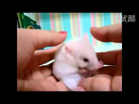 小倉鼠被嚇呆了!