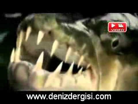 Timsah Yiyen Balık
