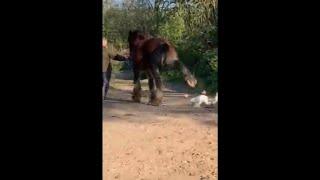 Gęś atakuje konia i ponosi tego konsekwencje