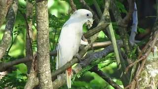 Narra Philippines  city pictures gallery : Philippine Cockatoo in Narra, Palawan, Philippines