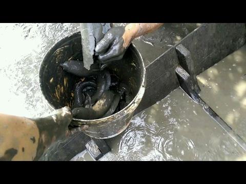 VIDEO không ngờ  cái ống nhựa vậy mà bắt được rất nhiều cá lóc to
