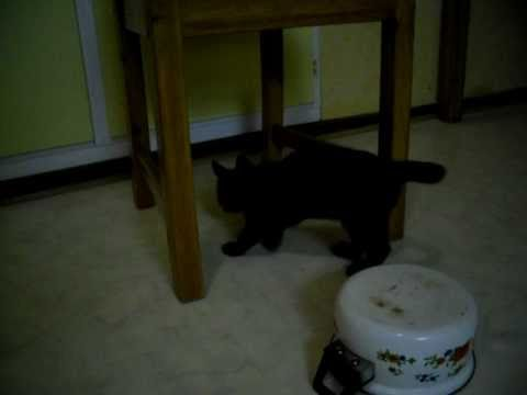 Dezederia - My new black kitten Shima i playing, this is the first day in her new home.