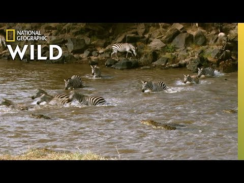 Zebra Cross Croc Infested Waters | Nat Geo Wild