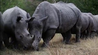 Hoedspruit South Africa  City new picture : RHINO GOLD (Hoedspruit, South Africa)