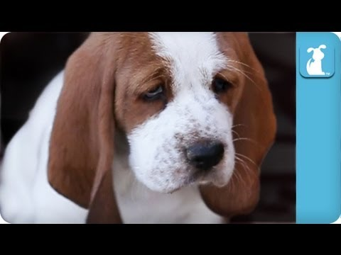hound - Watch these adorable Basset Hound puppies running around and being awesome! Subscribe to The Pet Collective: http://bit.ly/tpcsub Facebook: http://www.facebo...
