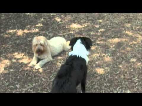 spansk vannhund allergi