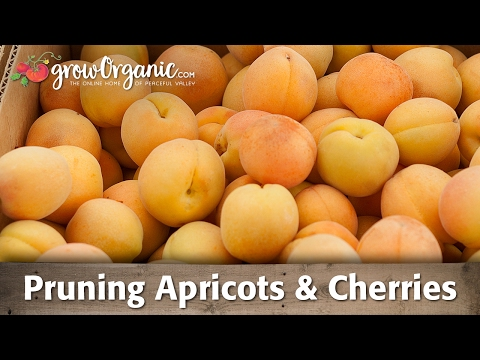 Apricot - Cherries, pluots and apricots all best pruned in summer. Their other common preference is a modified central leader training system. This is also a great pru...
