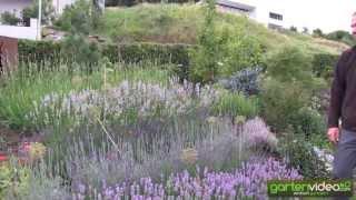 #1217 Unterschiedliche Lavendelsorten - Lavendelblüten