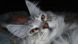 Maine Coon Cat Breed Questions Answered
