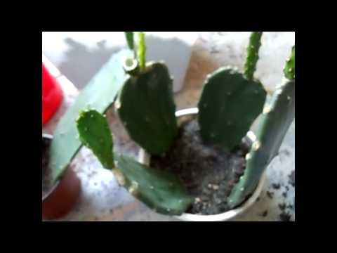 how to transplant opuntia