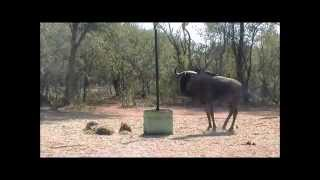 Thabazimbi South Africa  City new picture : Blue Wildebeest Bull Bow Hunt - Thabazimbi - South Africa