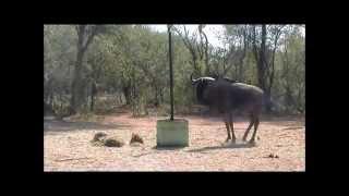 Thabazimbi South Africa  city photo : Blue Wildebeest Bull Bow Hunt - Thabazimbi - South Africa