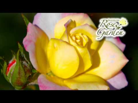 Enjoy the Beauty of the Clare and Miles Mills Rose Garden