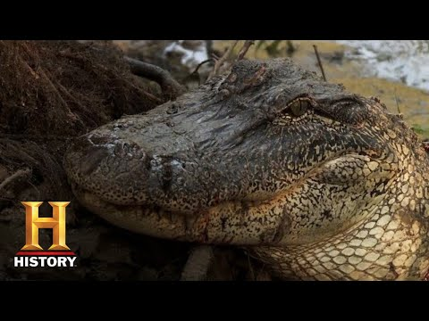 Swamp People: Troy Hunts 17 BIG GATORS to End the Season (Season 11) | History