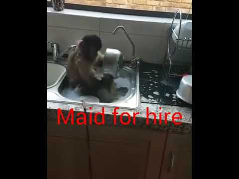 Monkeys Washing Dishes