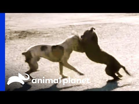 A Dog Fight Leaves Joe in Shock | Pit Bulls and Parolees (видео)