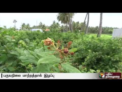 Scorched-jasmine-flowers-worries-farmers-in-Salem
