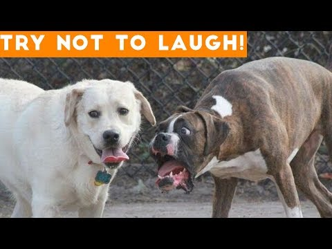 Video Try Not To Laugh At This Ultimate Funny Dog Video Compilation | Funny Pet Videos download in MP3, 3GP, MP4, WEBM, AVI, FLV January 2017