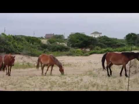 Wild Horses of Corolla, Outer Banks North Carolina