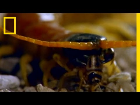 Centipede vs. Grasshopper Mouse