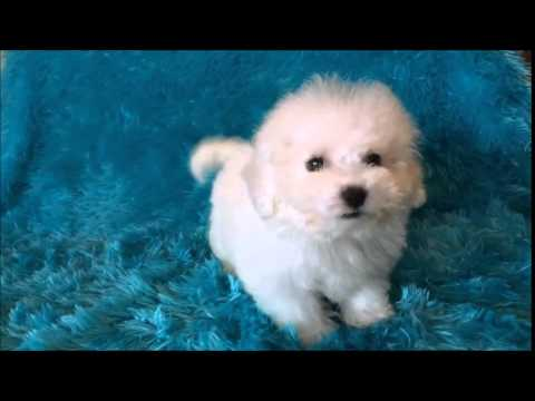 Bichon Frise Male Puppy