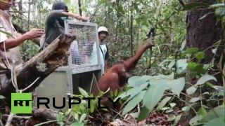 Ketapang Indonesia  city photos : Indonesia: See orangutans rescued and released in Ketapang rainforest