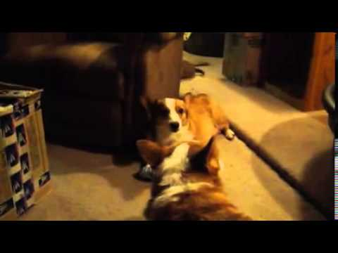 Watch our playful Corgi puppies who are 5 weeks old today.