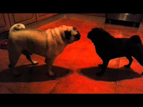 Pugs fighting over food