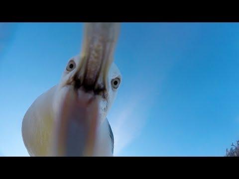 Чайка-воровка