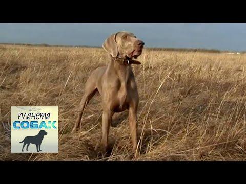 Веймаранер. Планета собак