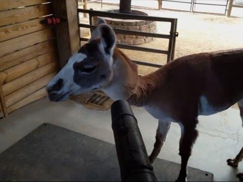 Houston Zoo Llama Enjoys A Breeze